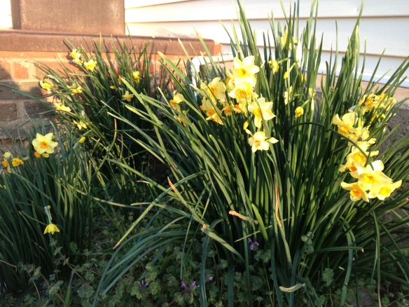 First jonquils on the home place