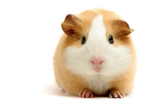-Animals-Fresh-New-Hd-Wallpaper--guinea pig