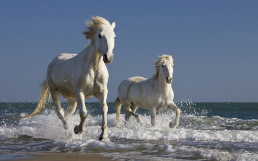 7413-camargue-horses-running-in-the-surf-wallpaper