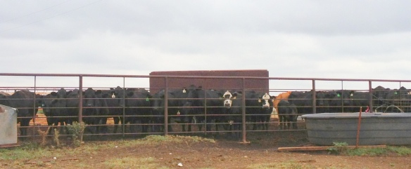cows in a pen