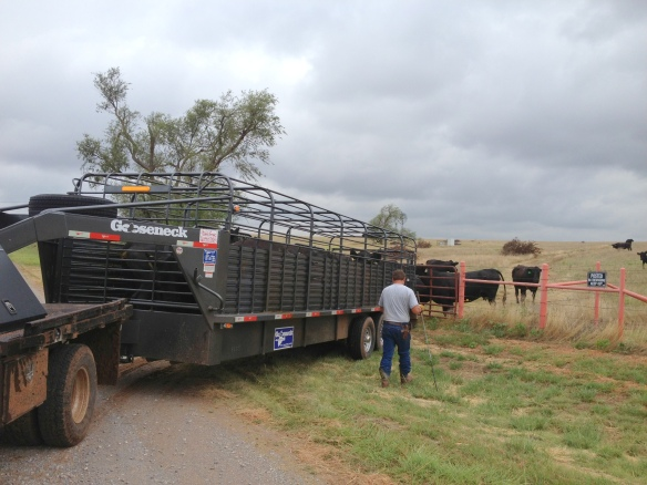 unloading cows