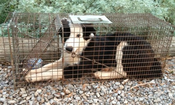 border collie caught in a coon trap