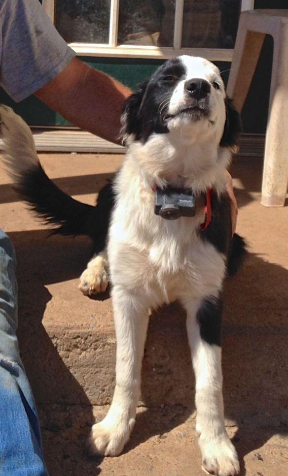 Border Collie Wearing Pet Safe Collar