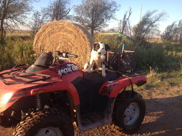 border collie on atv