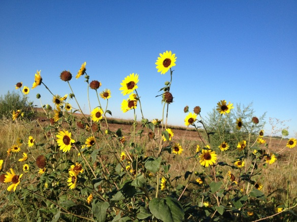 Oklahoma sunflowers