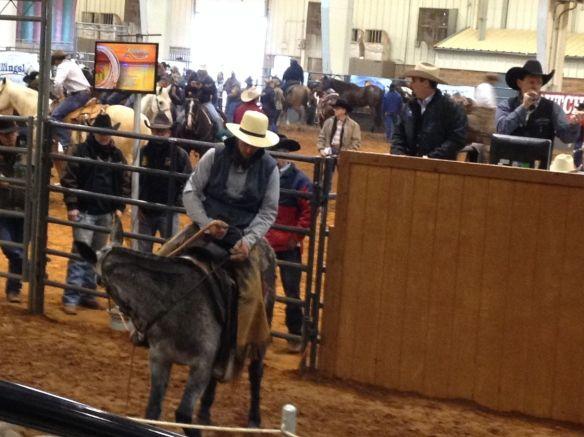 Amish cowboy on a mule