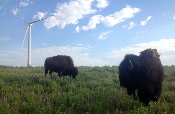 buffalo on wind farm in SW Oklahoma