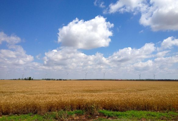 ripe wheat in southwest Oklahoma