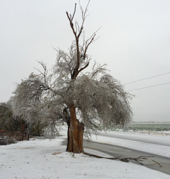 Old elm tree on day one of ice storm