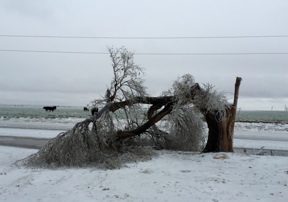 Old elm on day two of ice storm