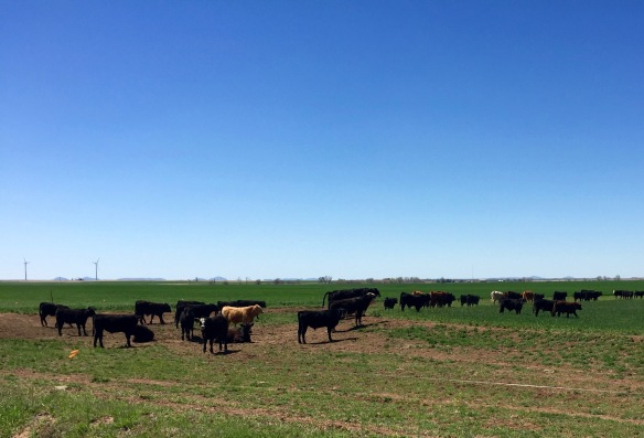 Cattle on spring pasture, a beautiful sight in southwest OK