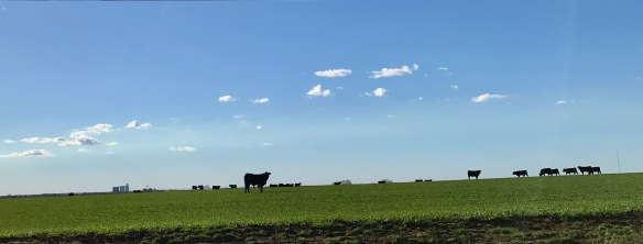 stockers on wheat pasture